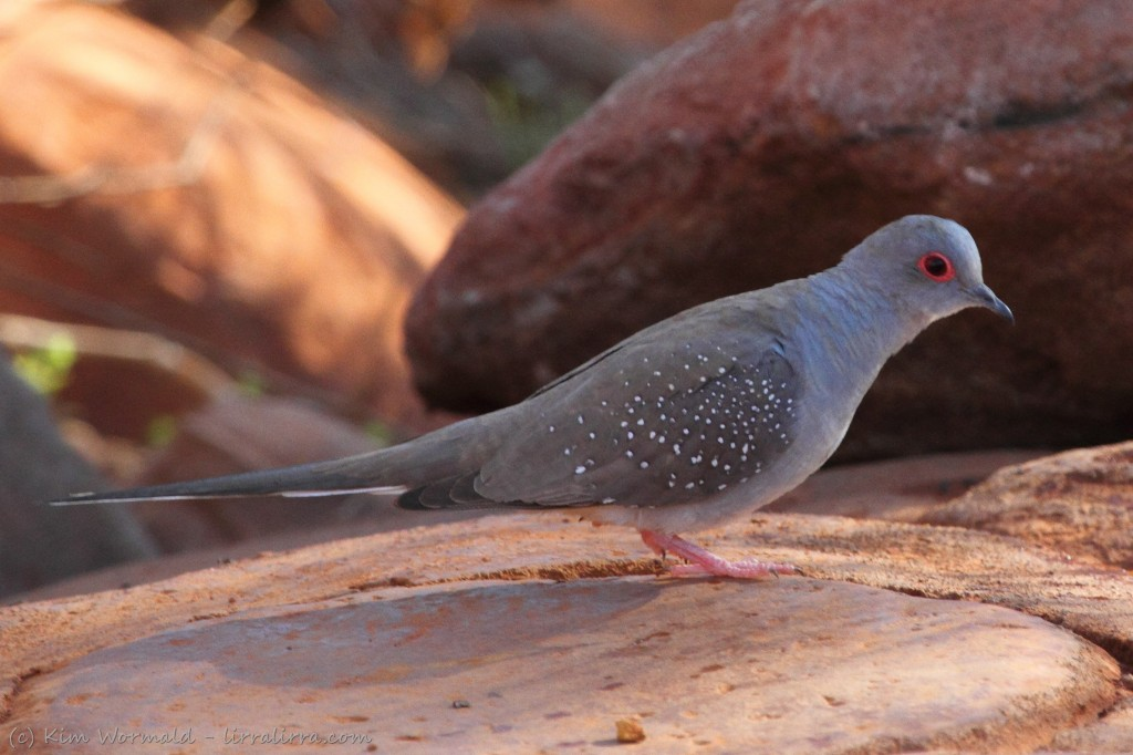 Outback Doves And Pigeons Lirralirra