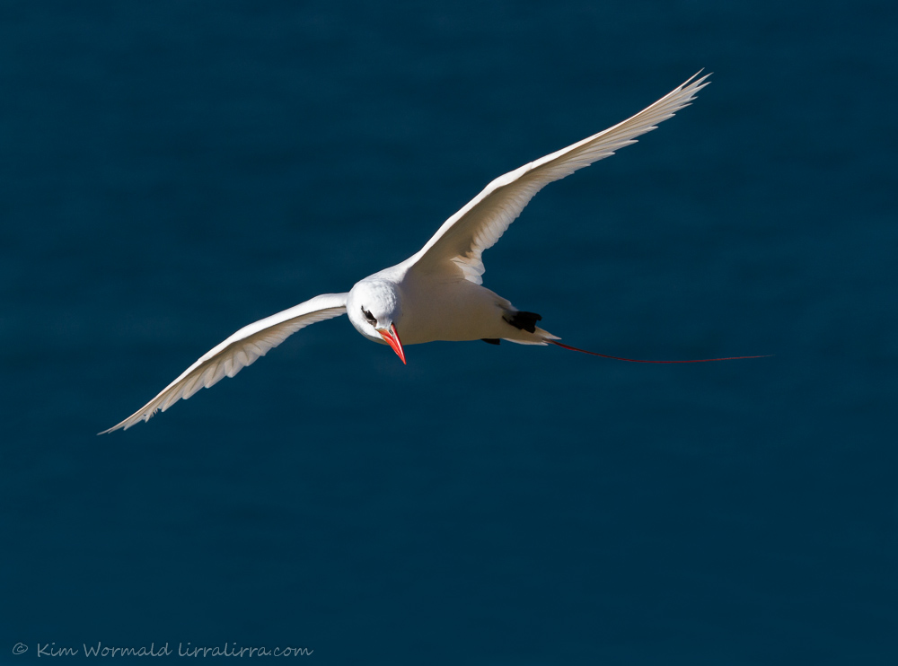 Red-tailed Tropicbird - Kim Wormald