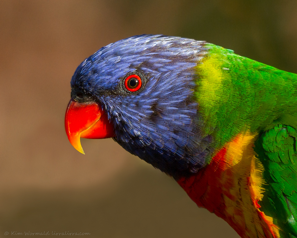 Rainbow Lorikeet - Kim Wormald