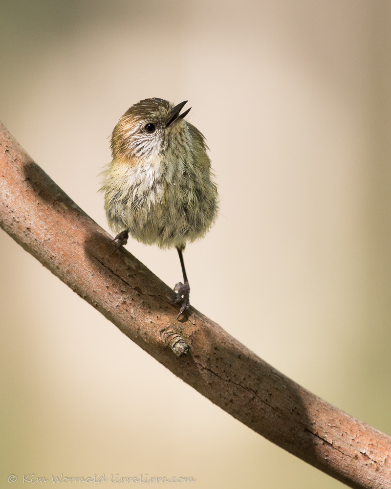 Striated Thornbill - Kim Wormald
