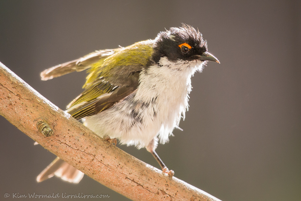 White-naped Honeyeater - Kim Wormald