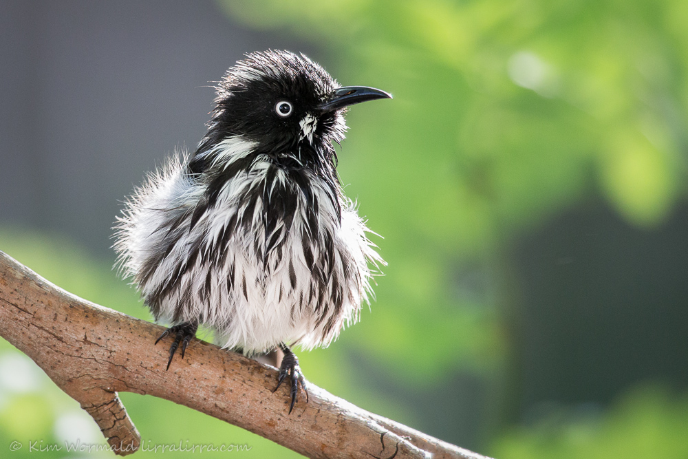 New Holland Honeyeater - Kim Wormald