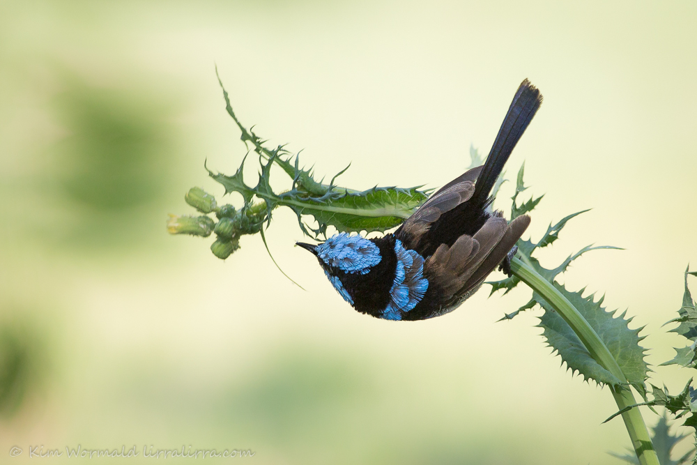 Fairy-wren foraging