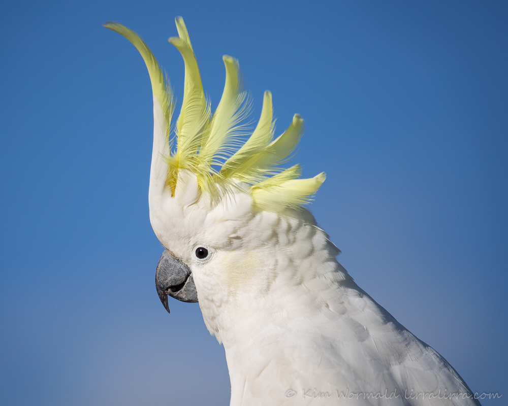 Sulphur Crested Cockatoo - Kim Wormald