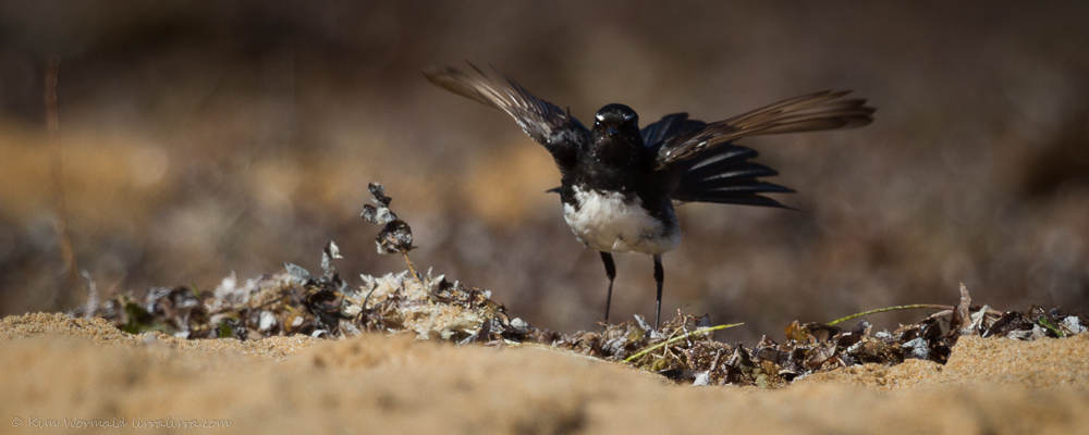 Willie Wagtail - Kim Wormald