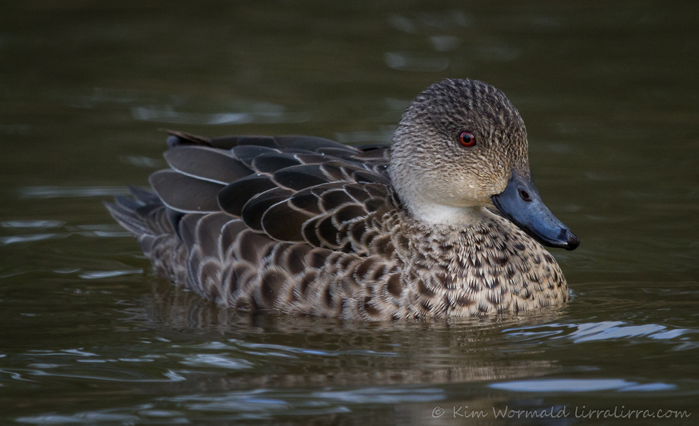 Grey Teal - Kim Wormald