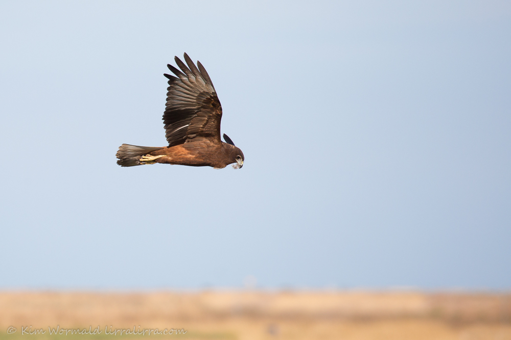 Swamp Harrier - Kim Wormald