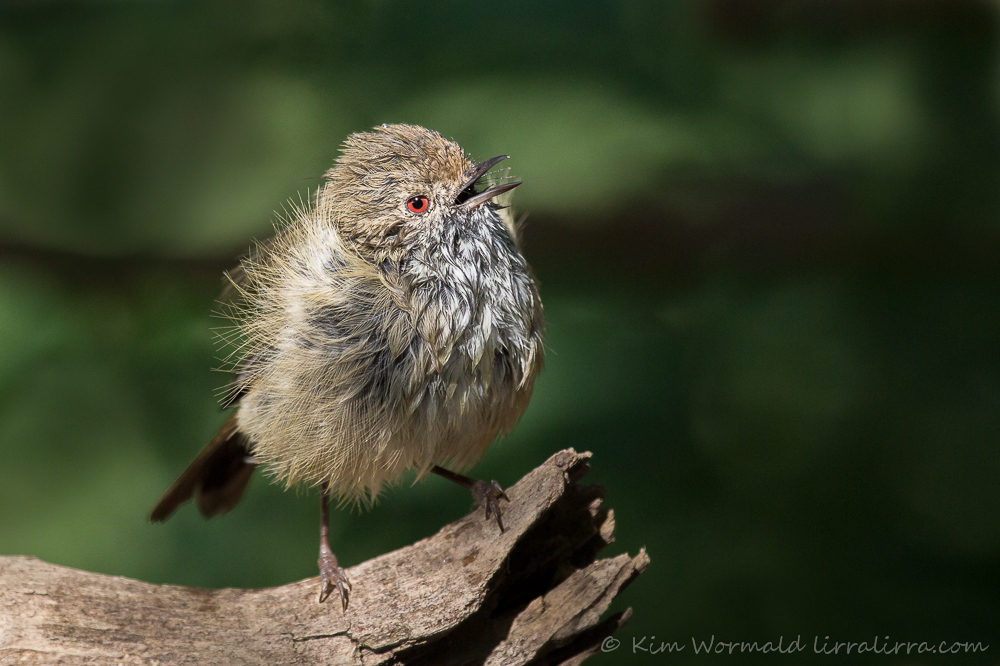 Brown Thornbill - Kim Wormald