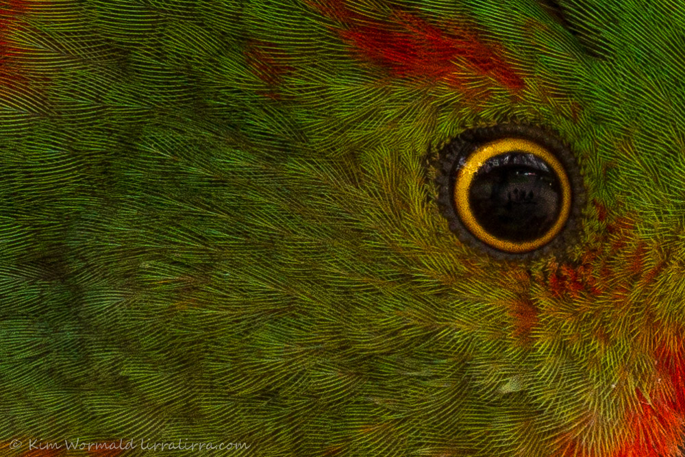 Young King Parrot
