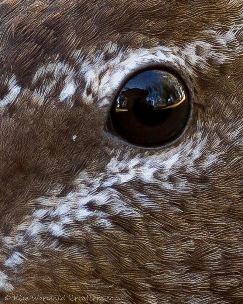 Australian Wood Duck - Kim Wormald
