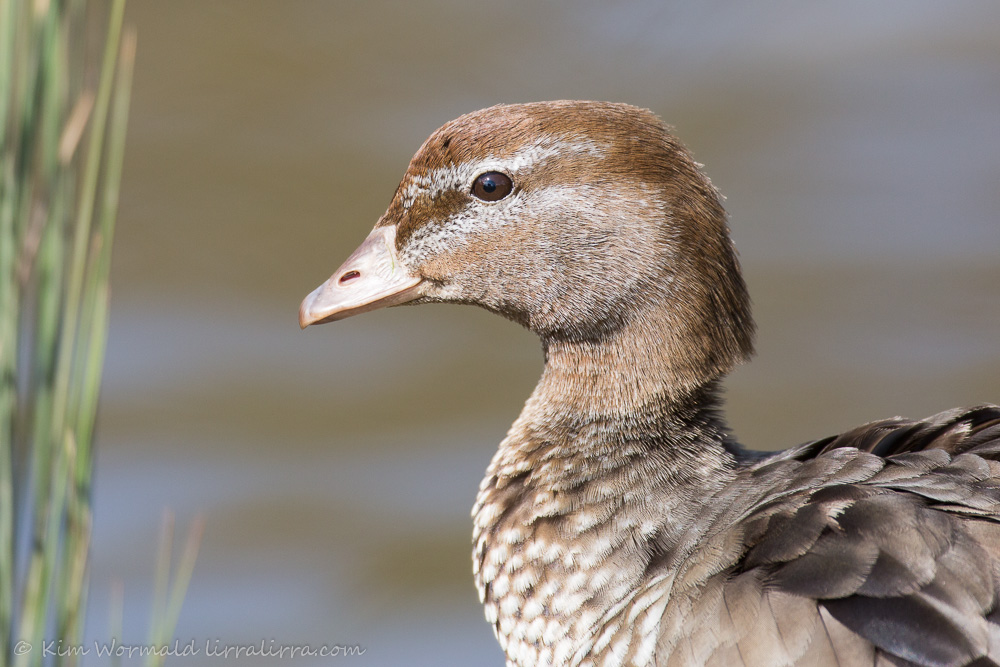 Australian Wood Duck (female) - Kim Wormald