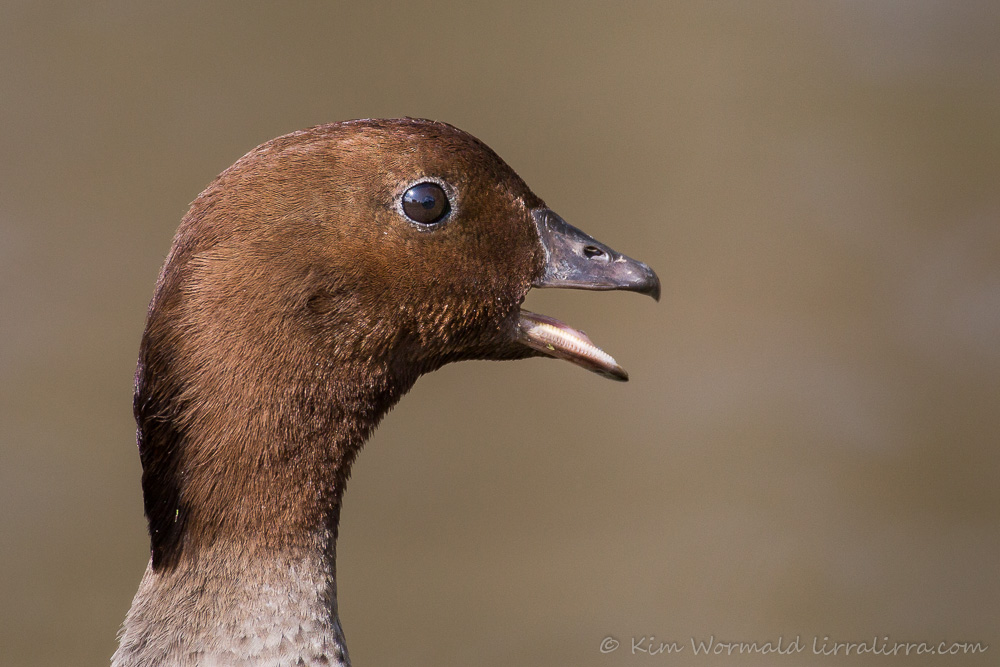 Australian Wood Duck (male) - Kim Wormald
