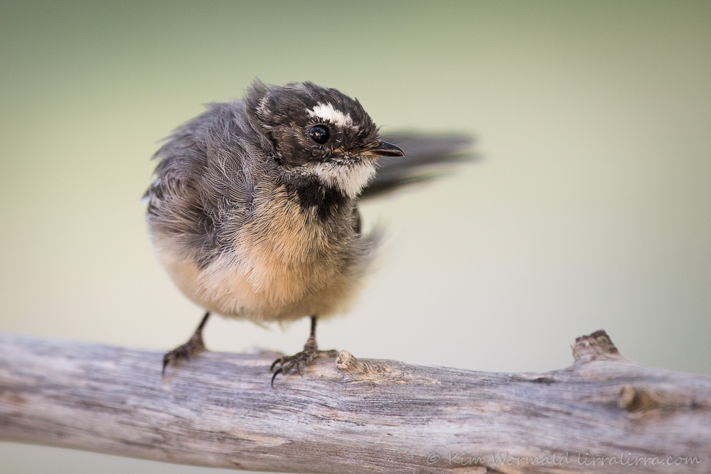 Windswept Fantail