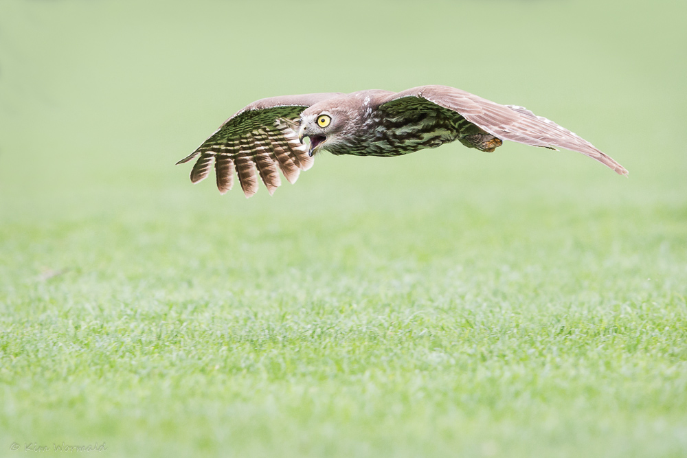 Barking Owl 3 - Ki Wormald