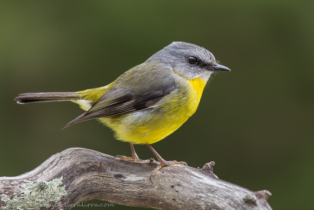 Esatern Yellow Robin