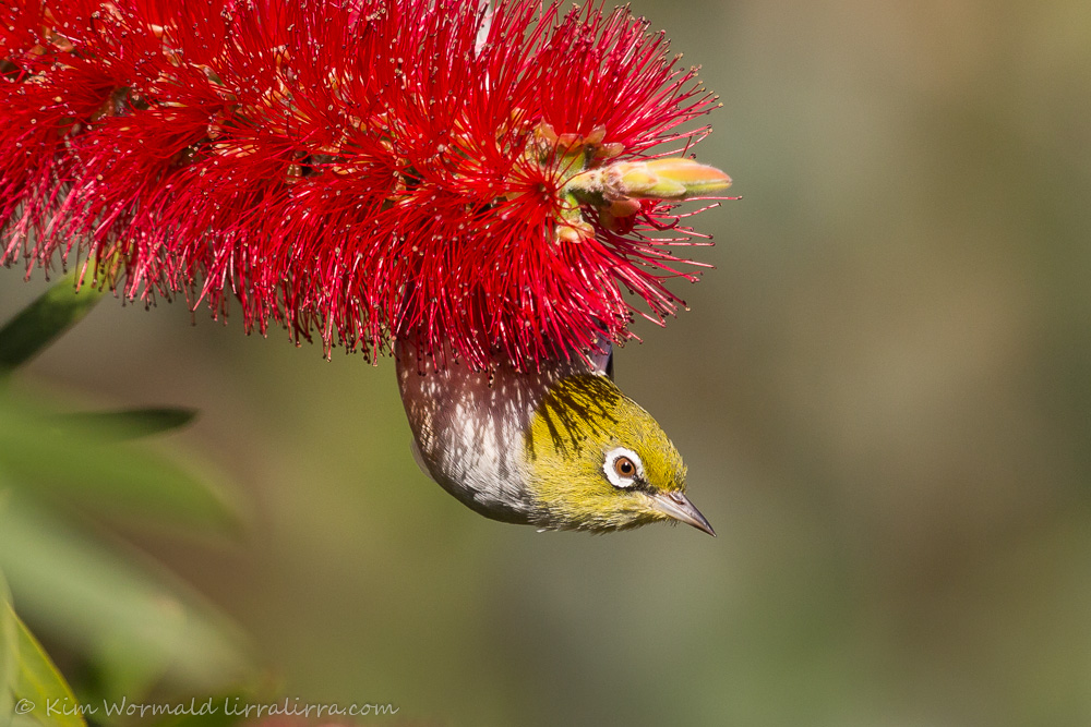 bottlebrush pose 2