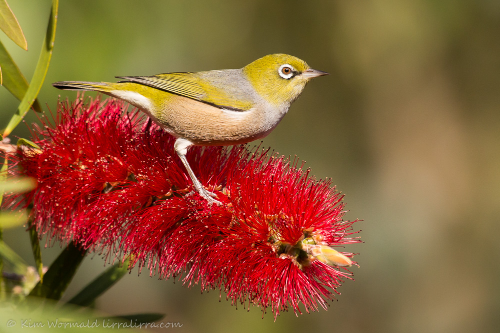 bottlebrush pose 3