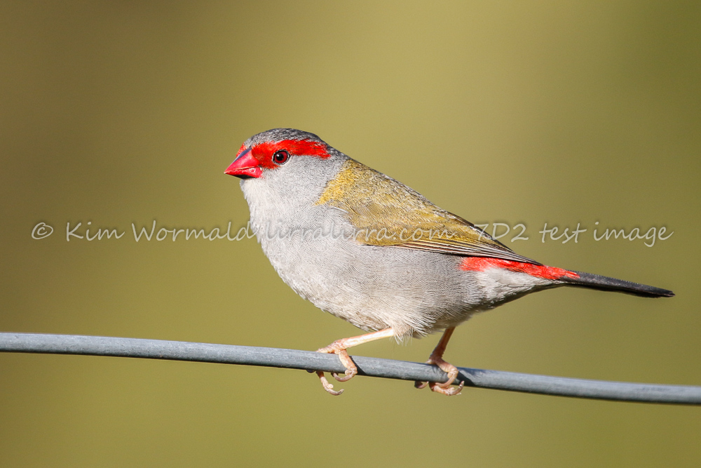 Red-browed Finch - Kim Wormald