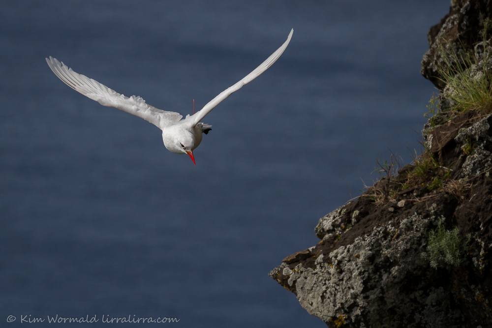 Red-tailed Tropicbirds - Kim Wormald