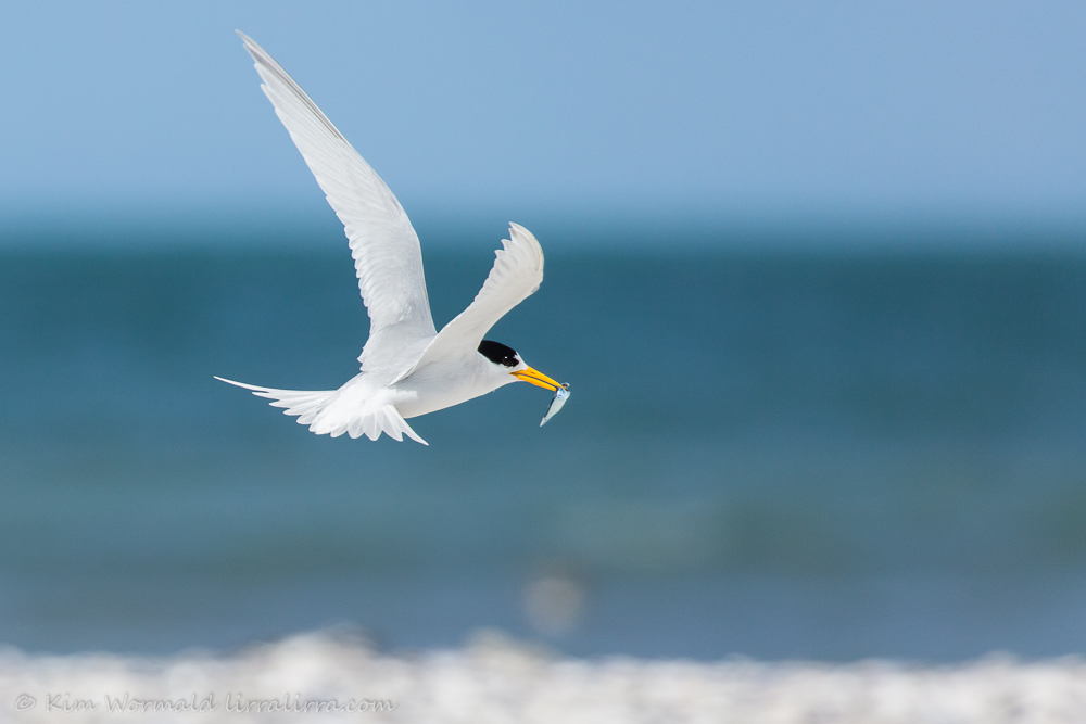 Fairy Tern with fish