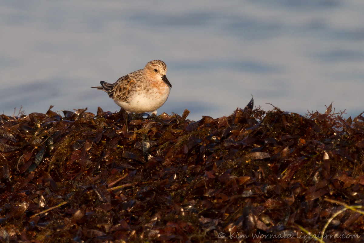 Red-necked_Stint_-_Kim_Wormald