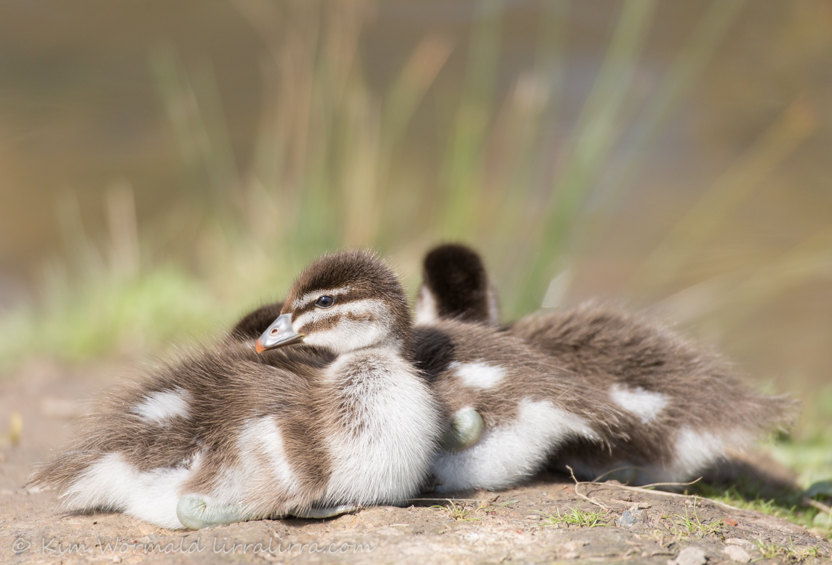 Austlralian Wood Ducklings
