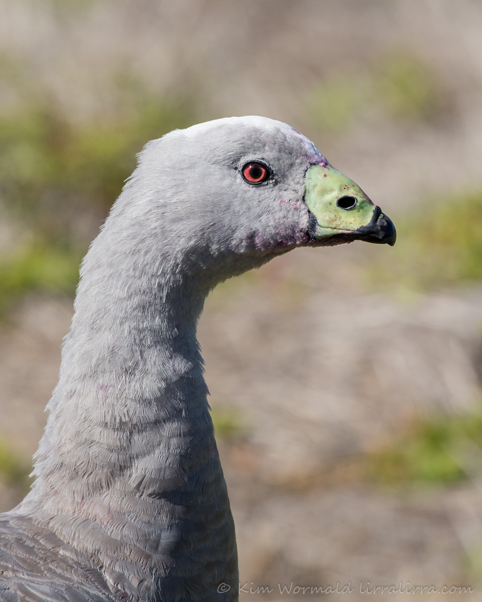 Cape Barren Goose - Kim Wormald