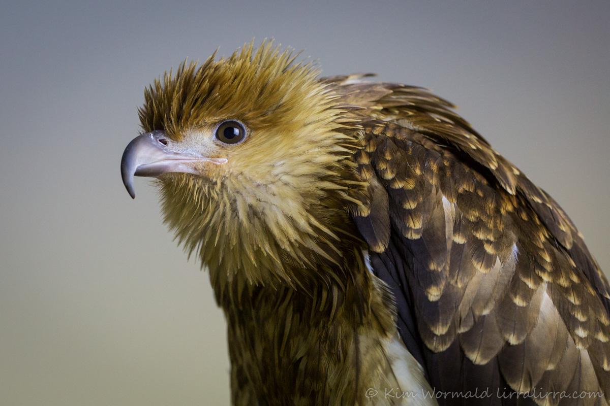 Whistling Kite - Kim Wormald