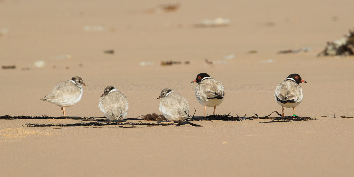 Hooded Plover Family