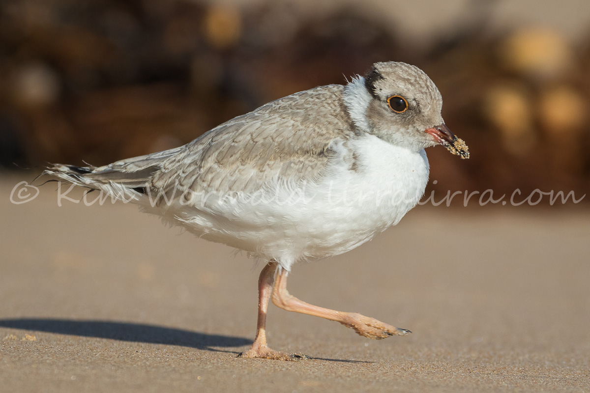 Hooded Plover Running By