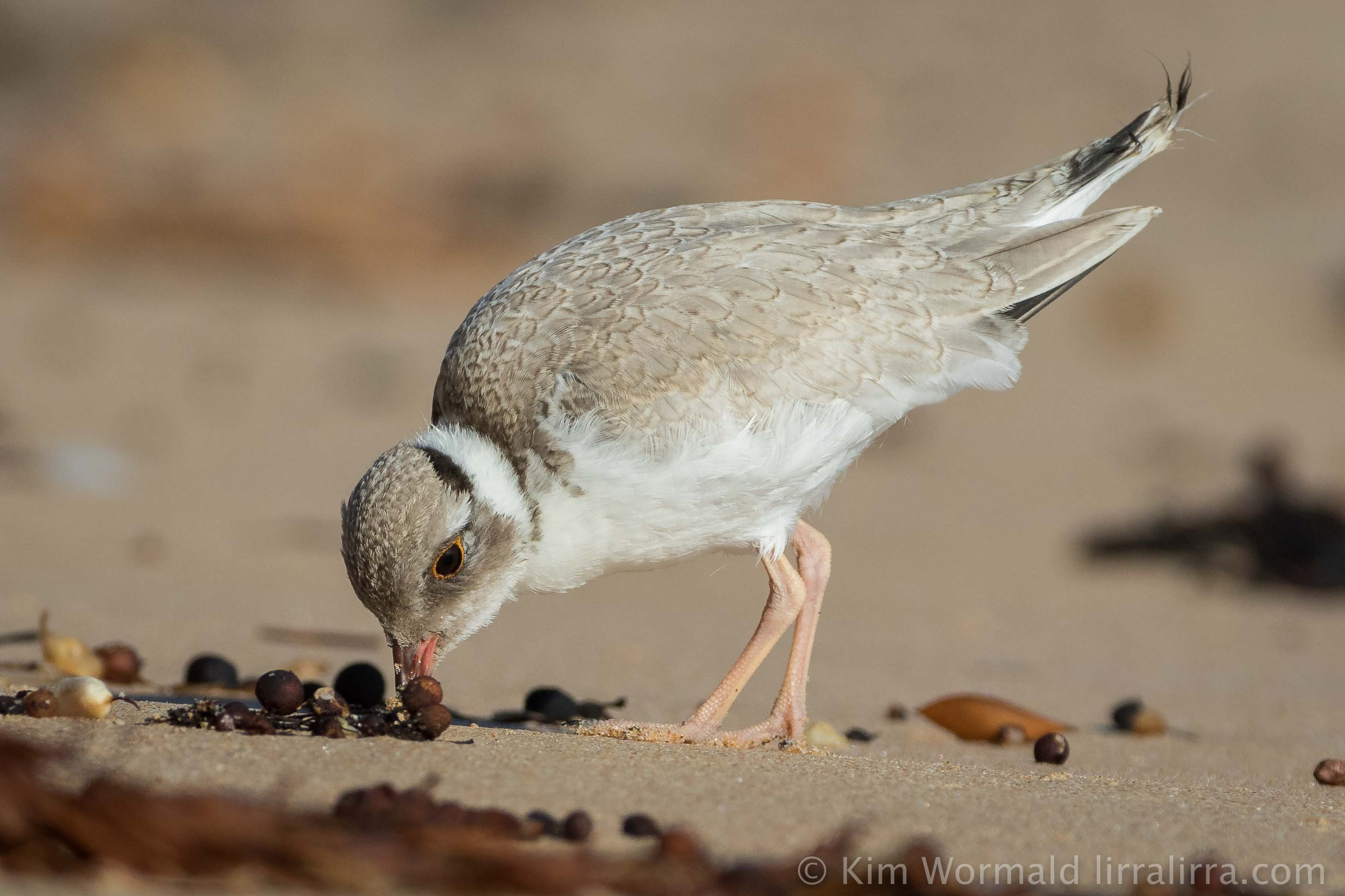 Hooded Plover - Kim Wormald