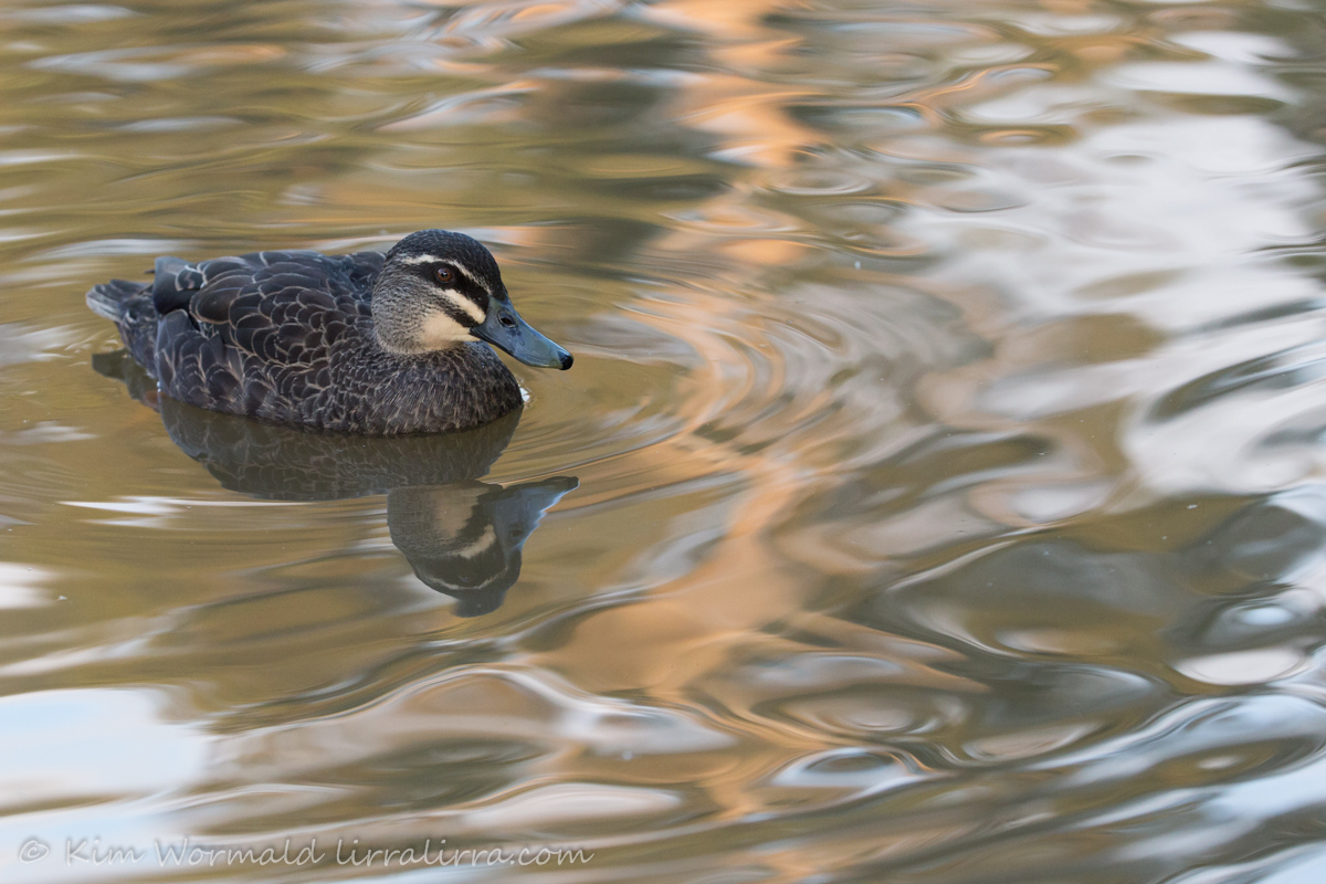 Pacific Black Duck - Kim Wormald
