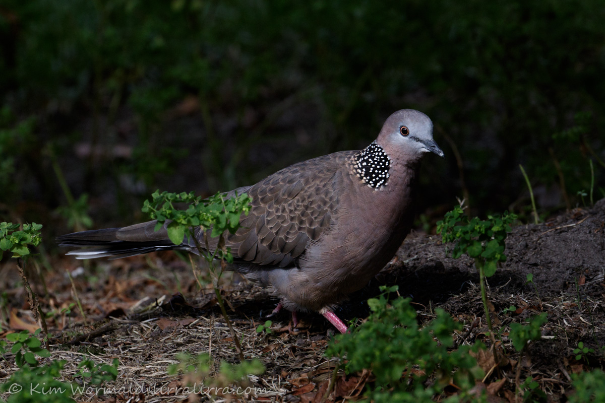 Spotted Dove - Kim Wormald