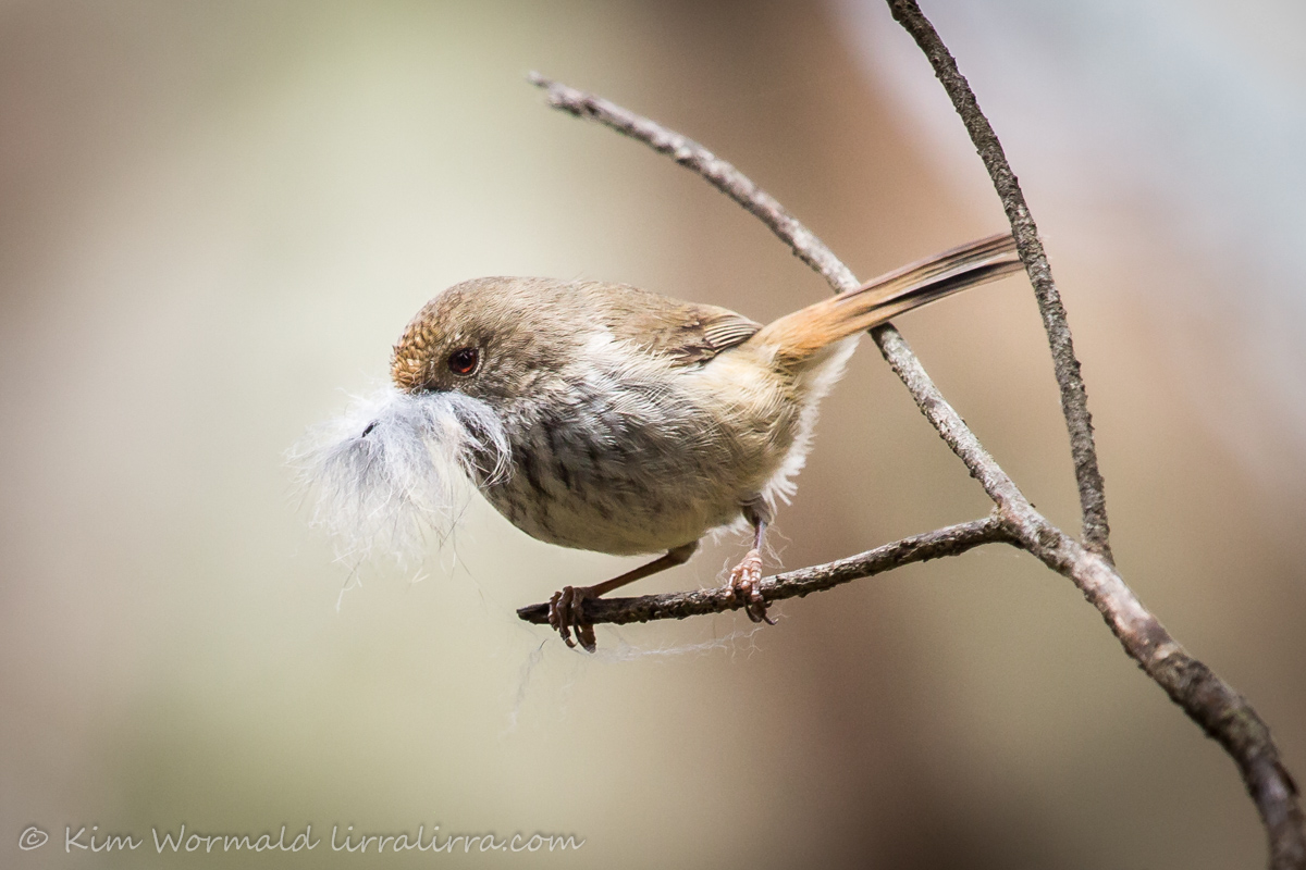 Brown Thornbill - Kim Wormald h