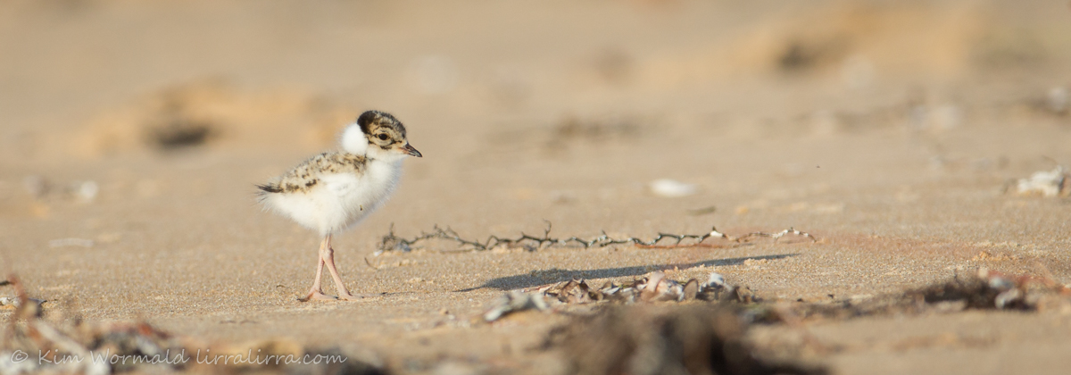 Hooded Plover chick 4 - Kim Wormald