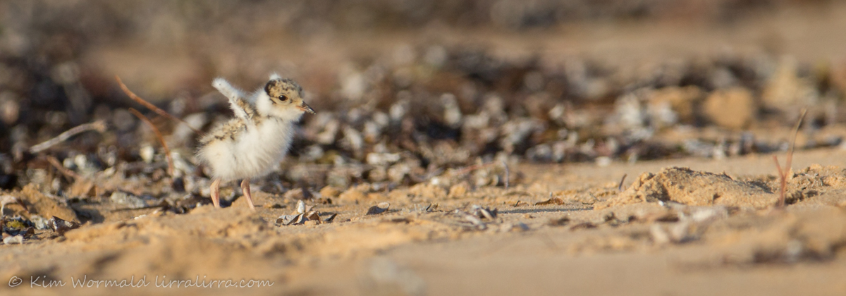 Hooded Plover chick 3 - Kim Wormald