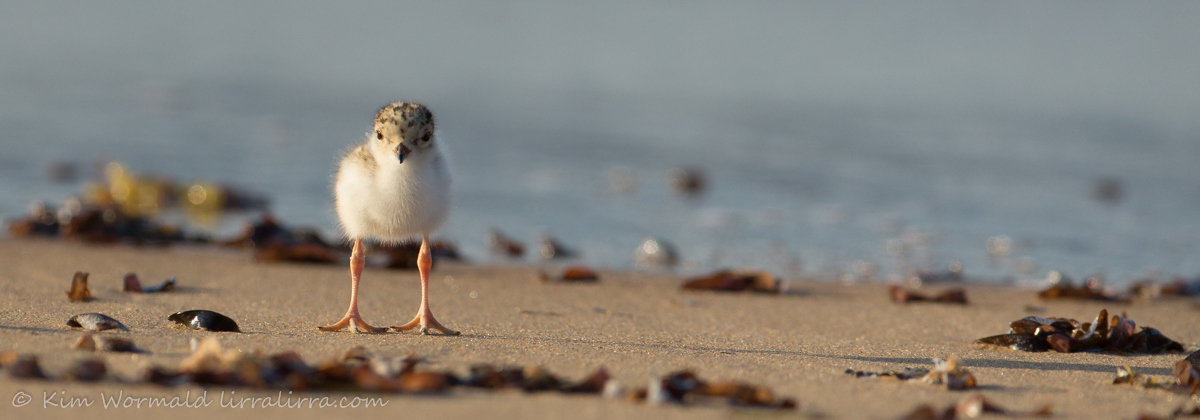 Hooded Plover chick 2 - Kim Wormald