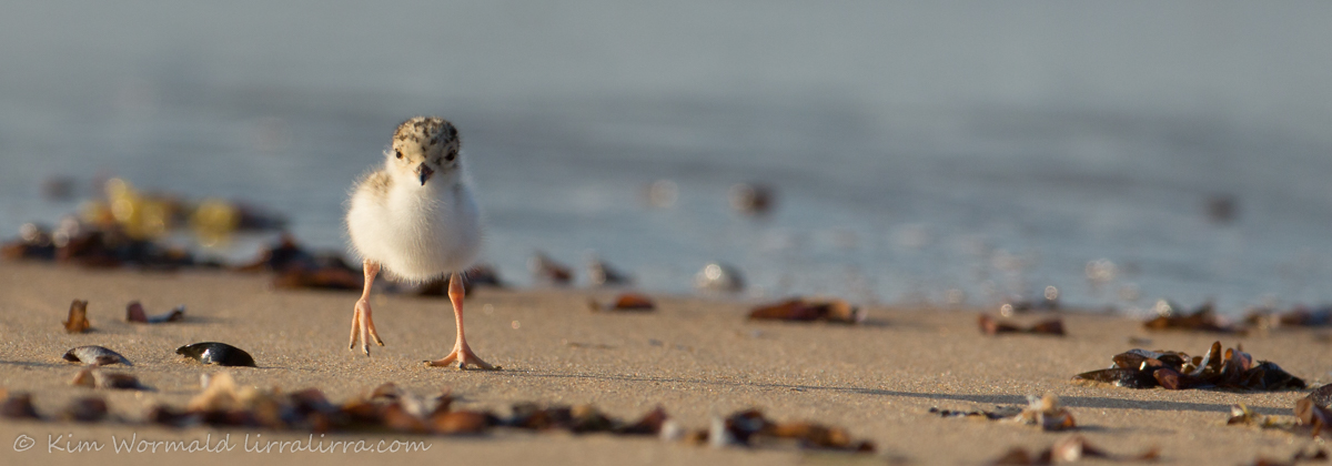 Hooded Plover chick 1 - Kim Wormald