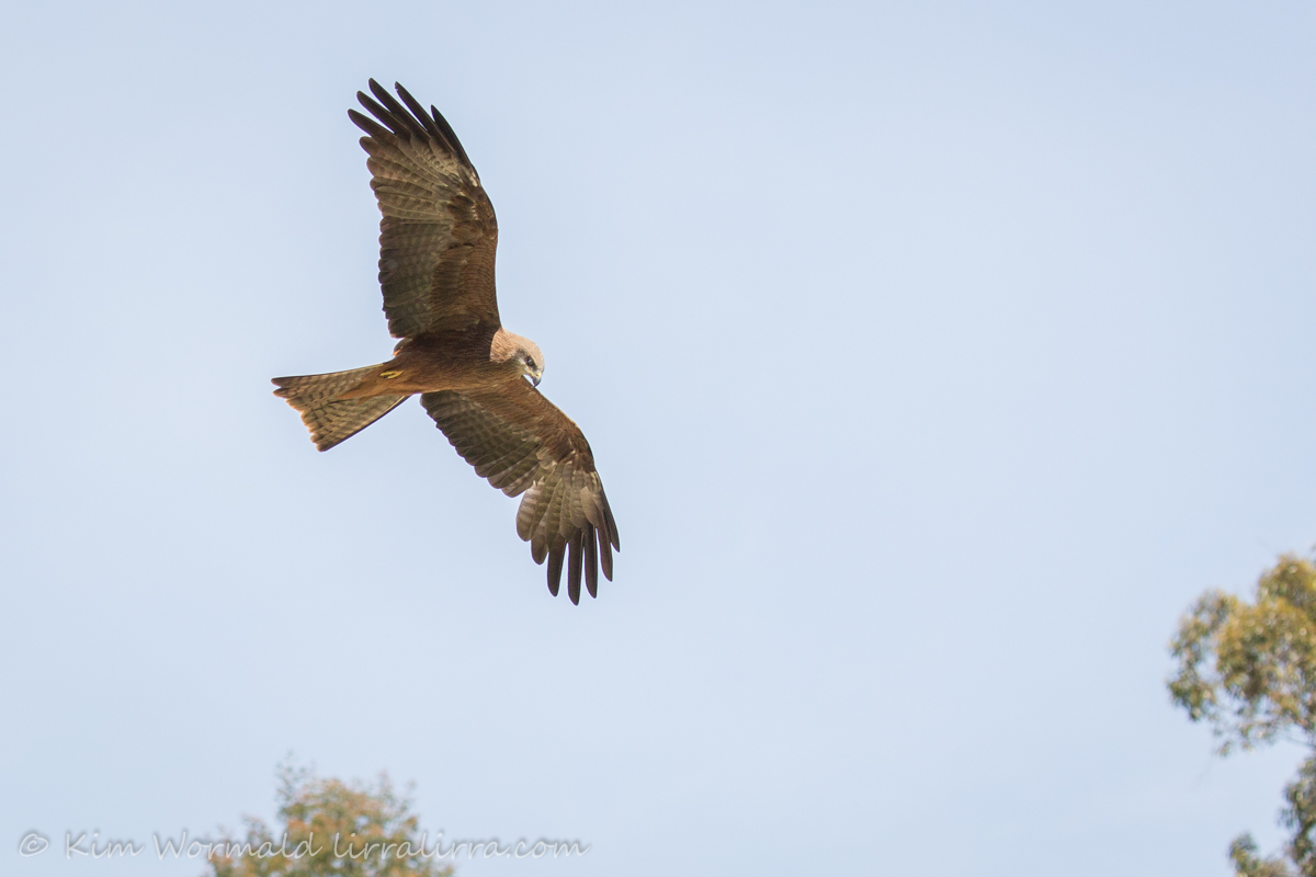 Black Kite WTP - Kim Wormald