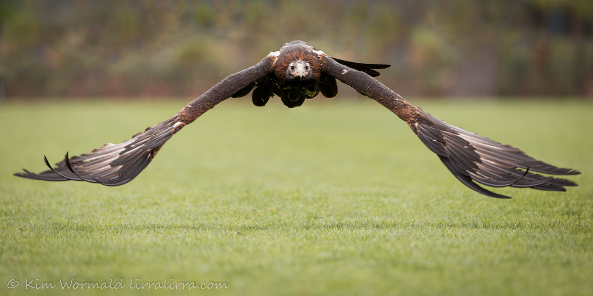 Wedge -tailed Eagle 2 - Kim Wormald