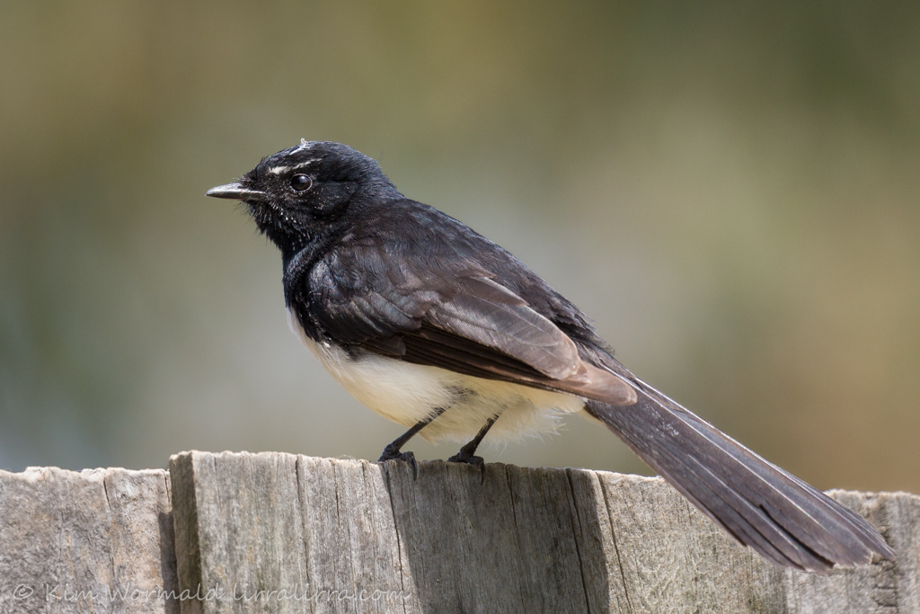 Willie Wagtail 2 - Kim Wormald