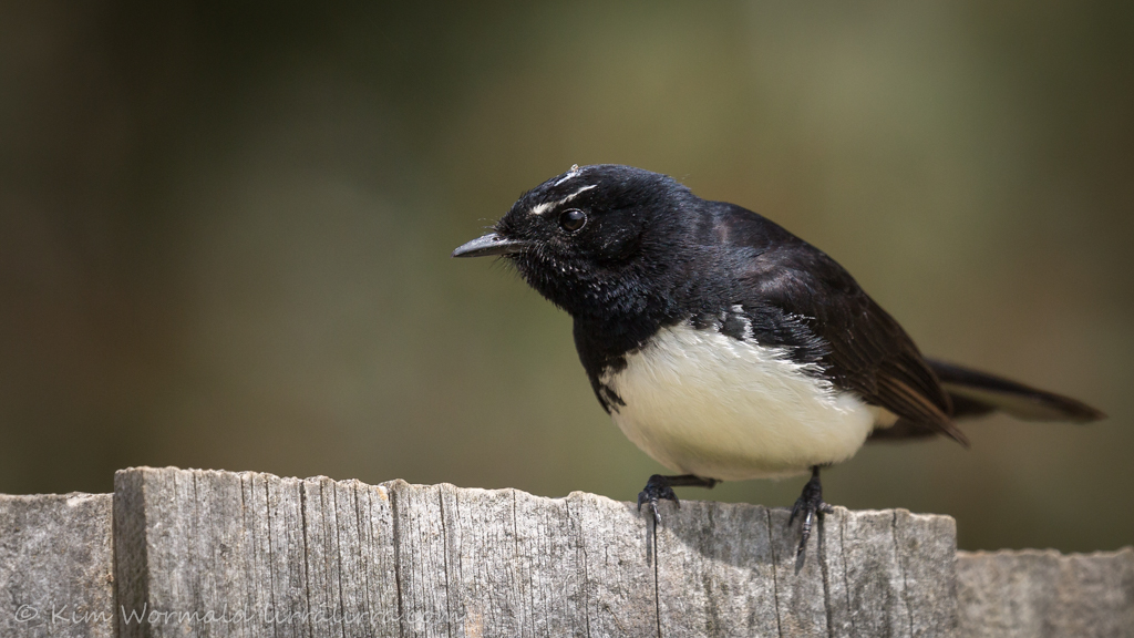 Willie Wagtail 4 - Kim Wormald