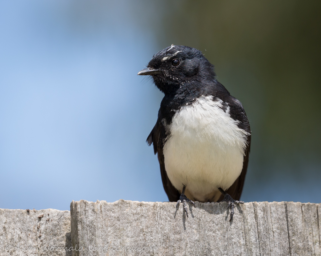 Willie Wagtail 5 - Kim Wormald