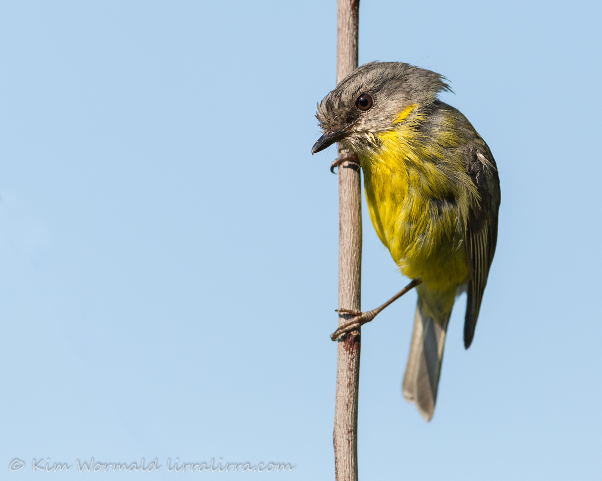 Eastern Yellow Robin - Kim Wormald