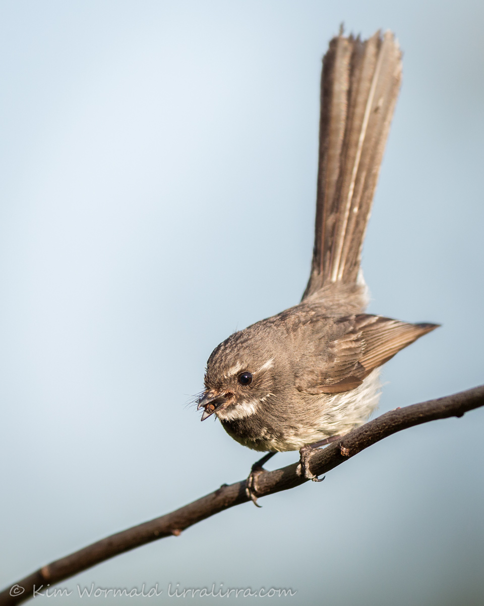 Grey Fantail with Fly - Kim Wormald