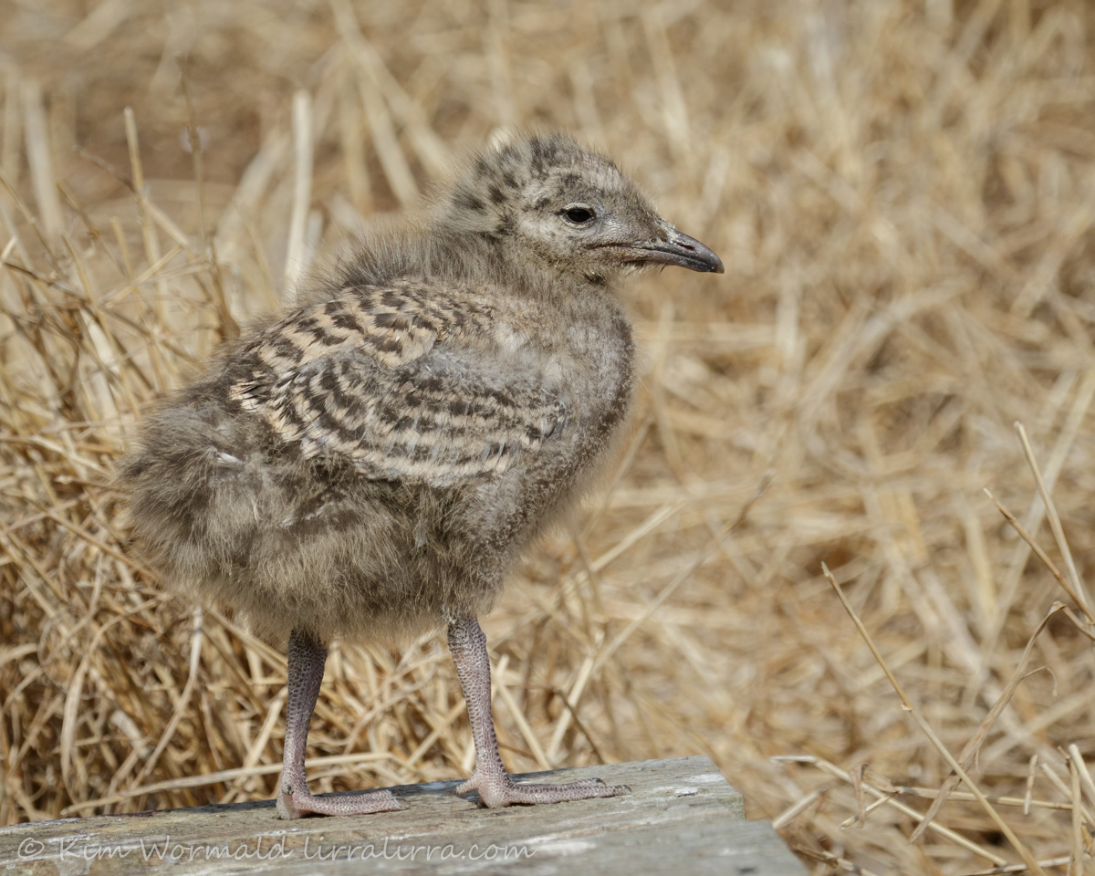 Silver Gull chick 2 - Kim Wormald