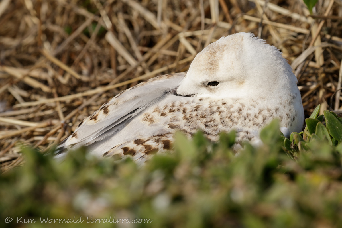 Silver Gull chick 3 - Kim Wormald