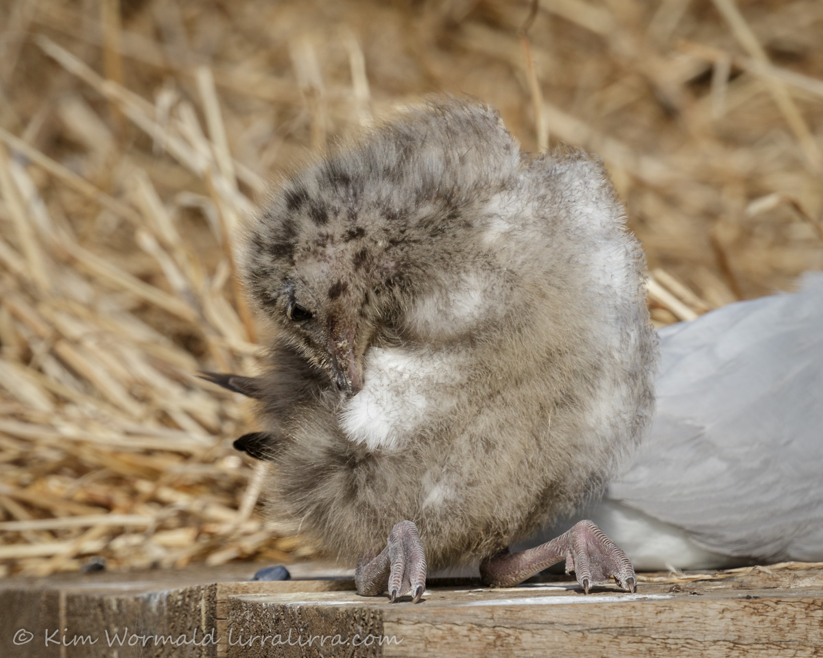 Silver Gull chick - Kim Wormald