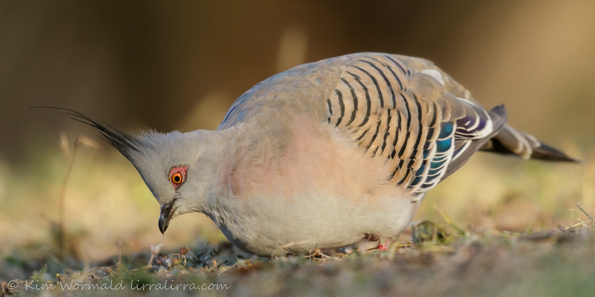 Crested Pigeon 1 - Kim Wormald