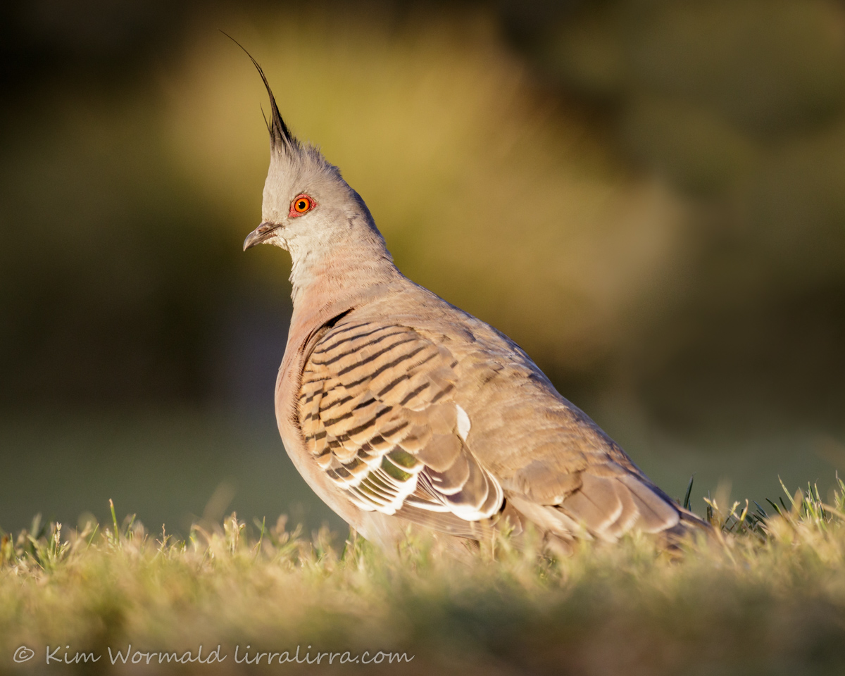 Crested Pigeon 2 - Kim Wormald